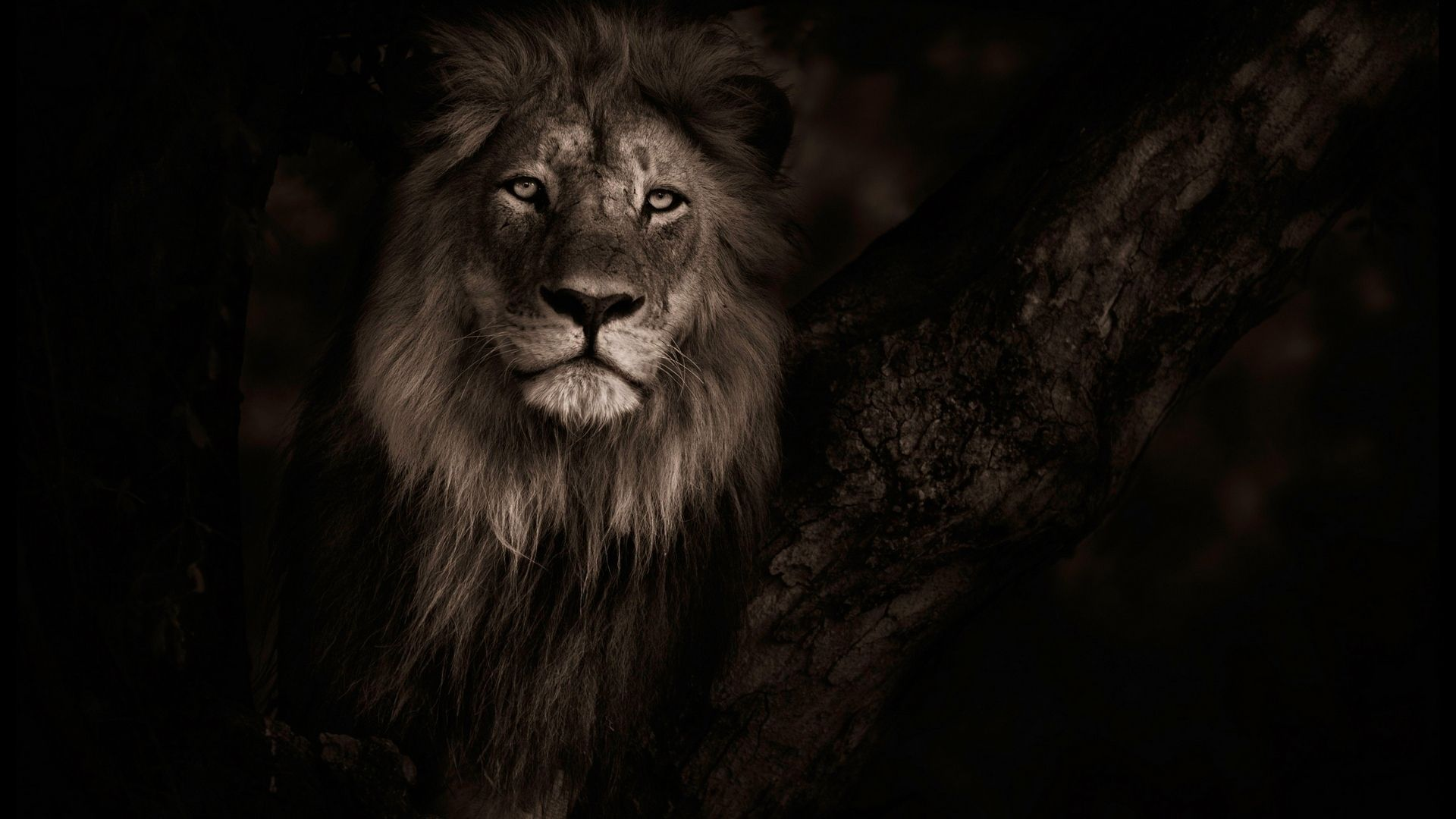 30 Lion Black And White Wallpapers Wallpaperboat