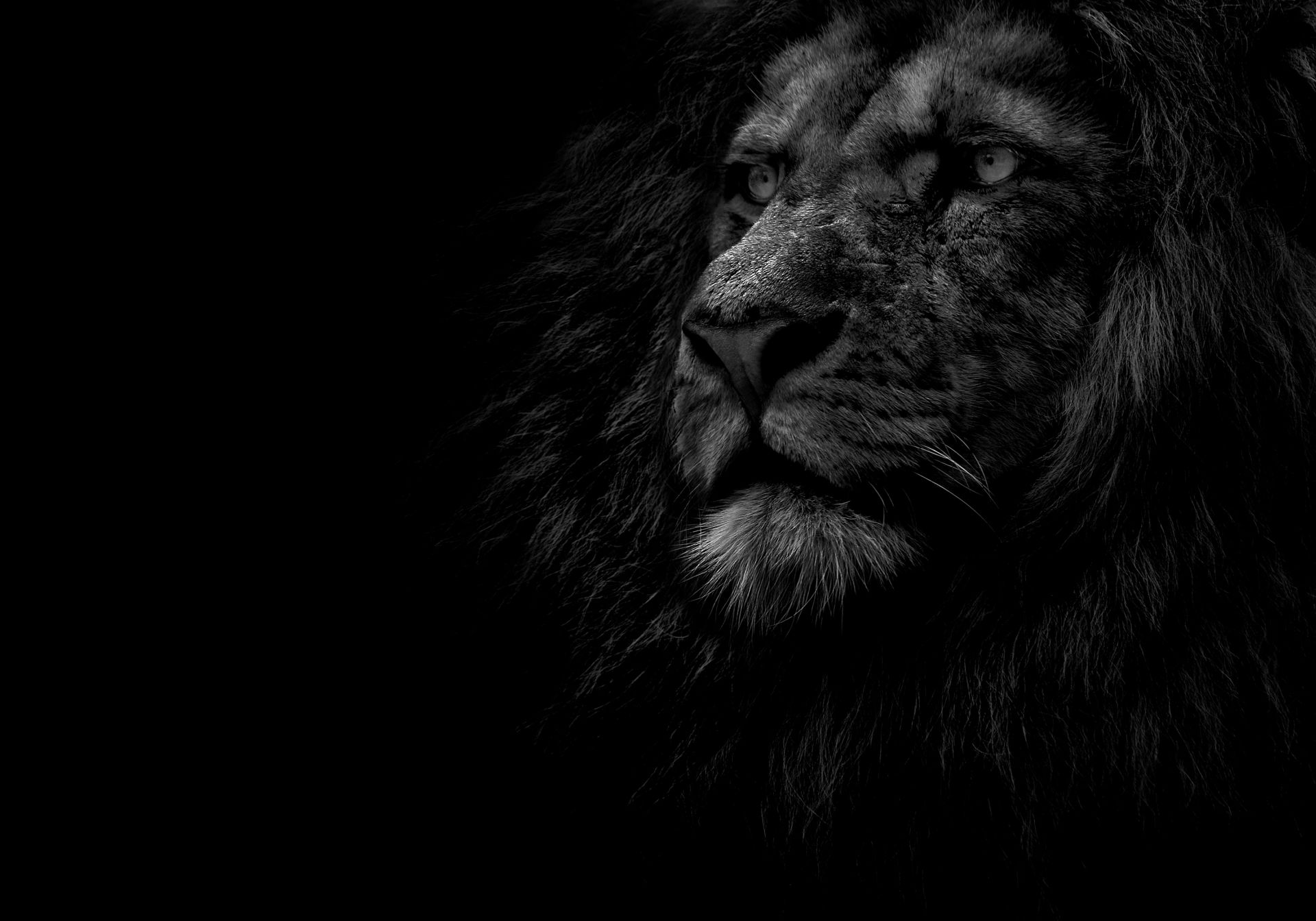 Lion Black And White Animal vertical wallpaper hd