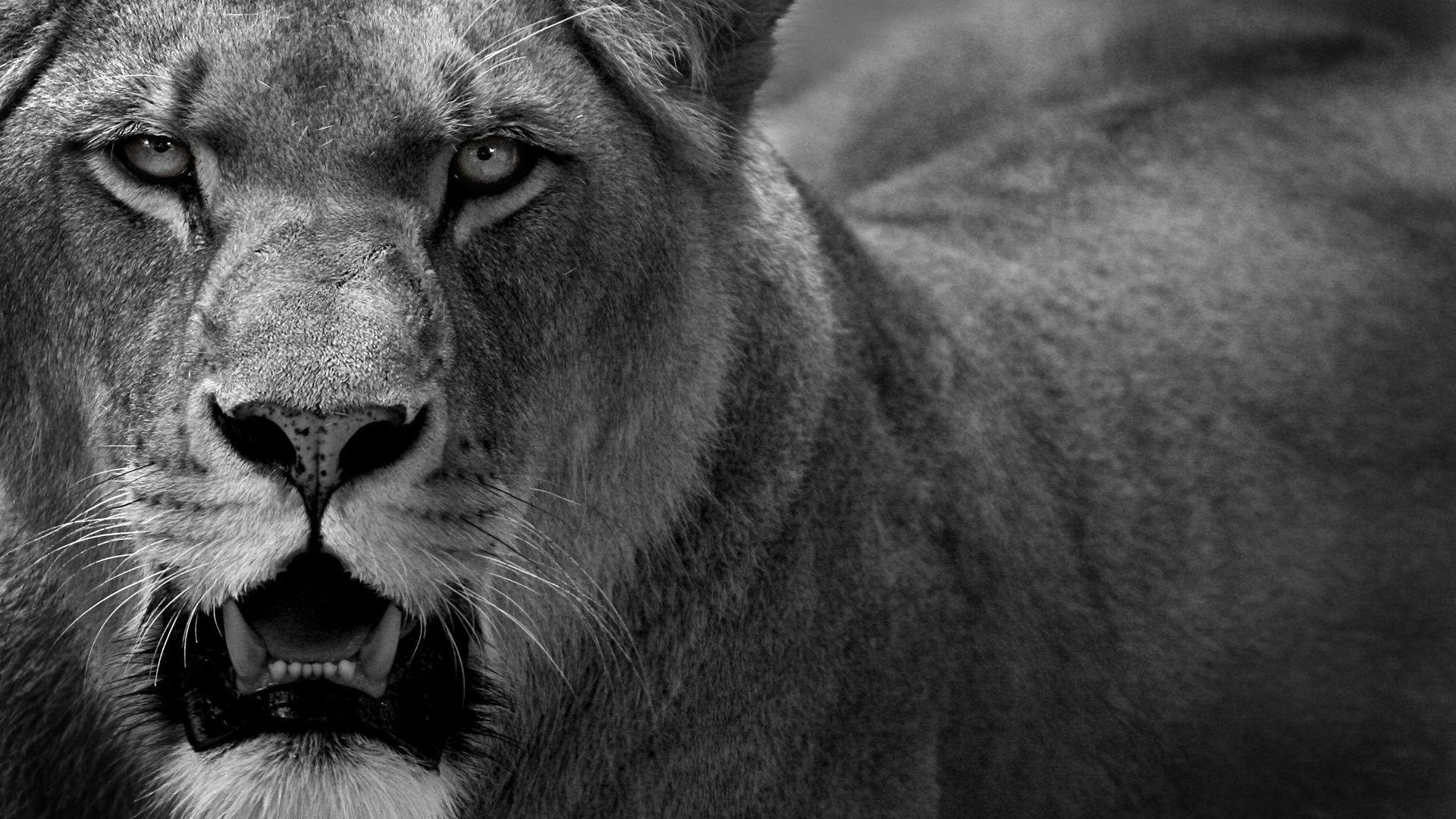 Lion Black And White Animal Image