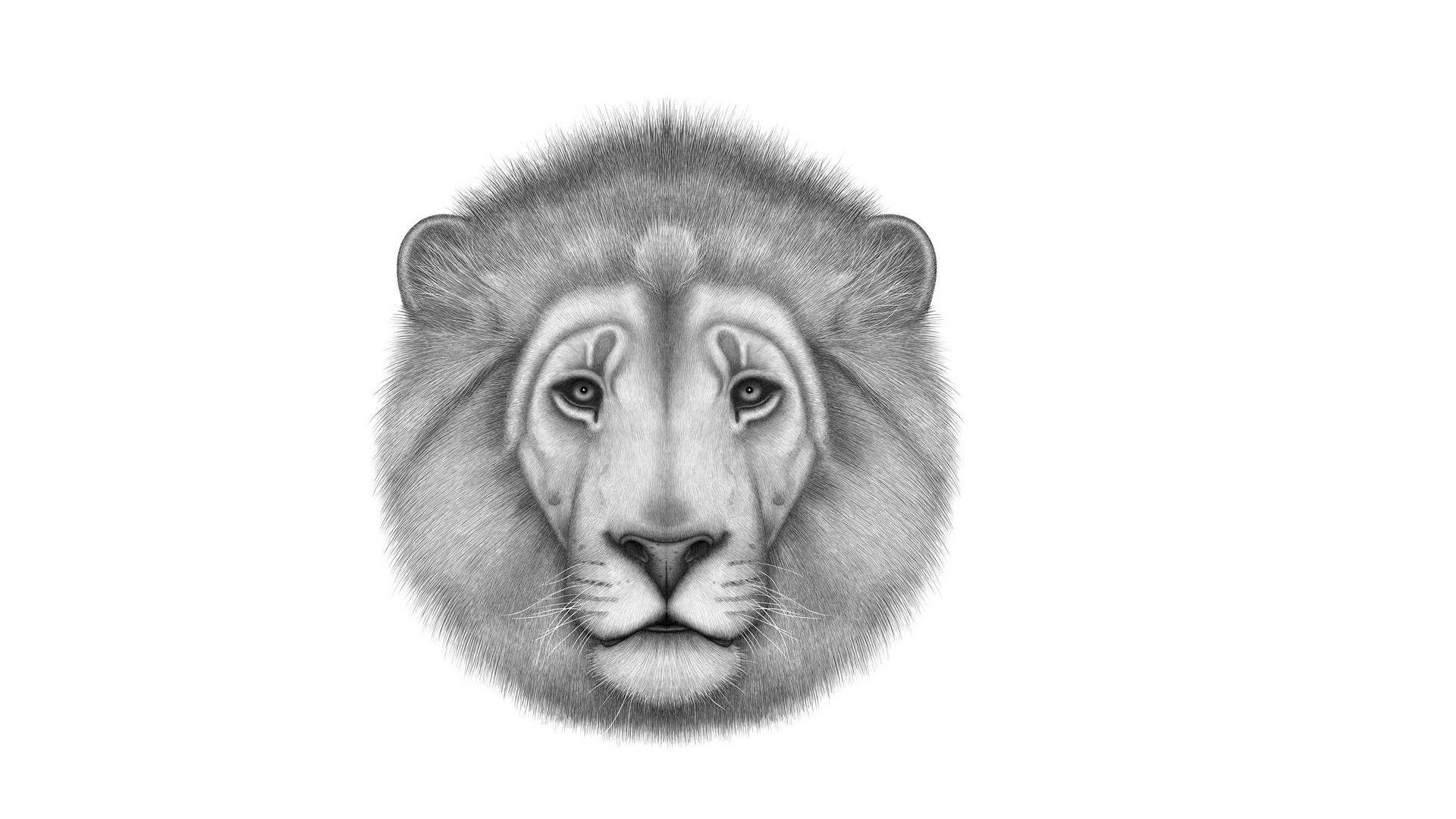 Lion Black And White Animal Wallpaper Image