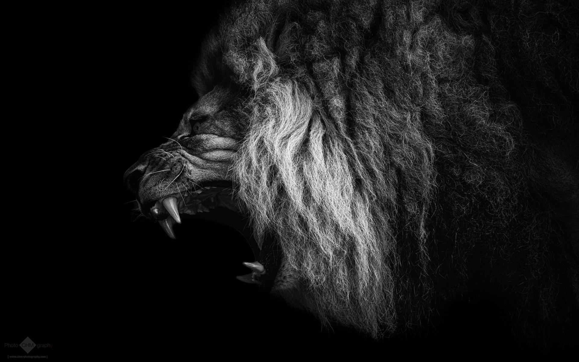 Lion Black And White Animal Pic