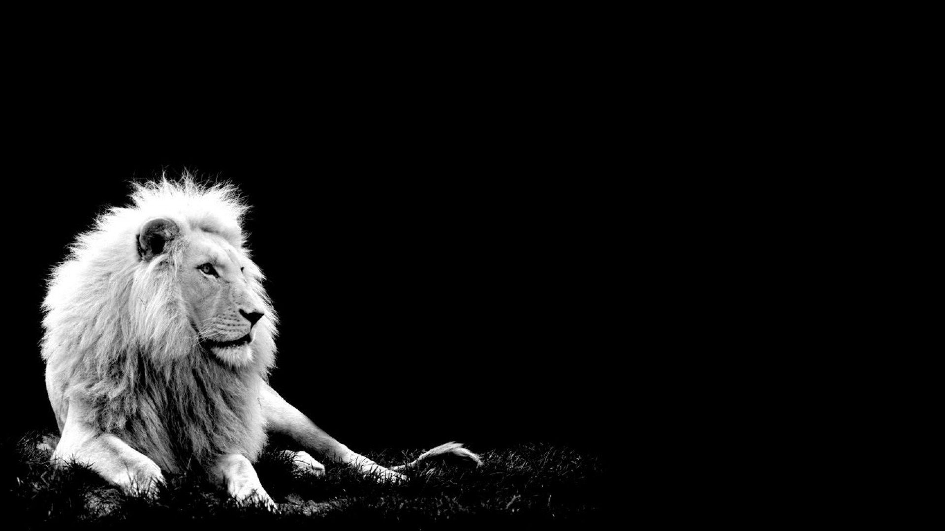 Lion Black And White Animal HD Download
