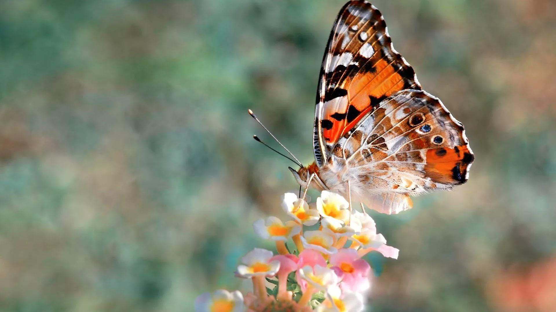 Nice Butterfly wallpaper theme