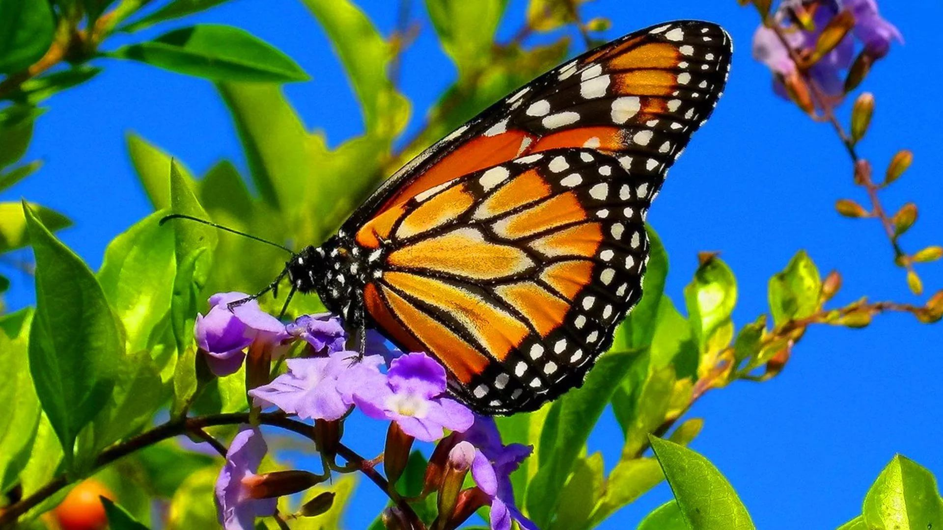 Nice Butterfly free download wallpaper