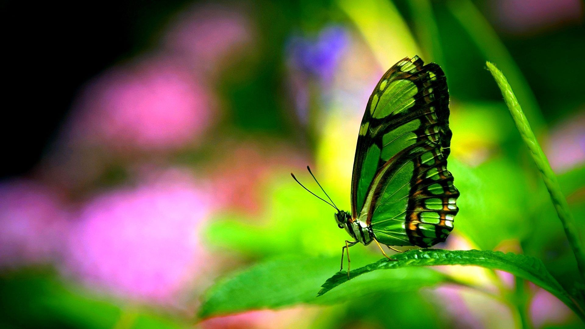 Nice Butterfly desktop wallpaper download