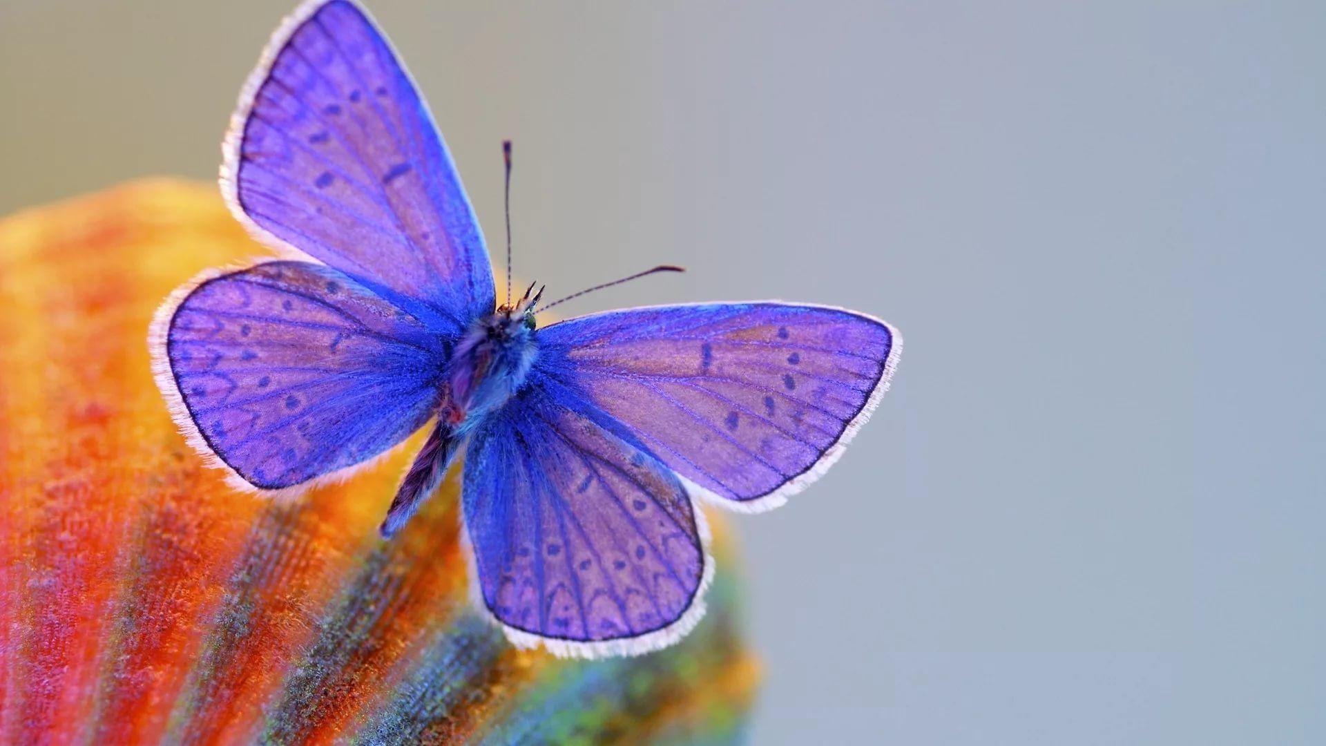 Nice Butterfly good wallpaper hd