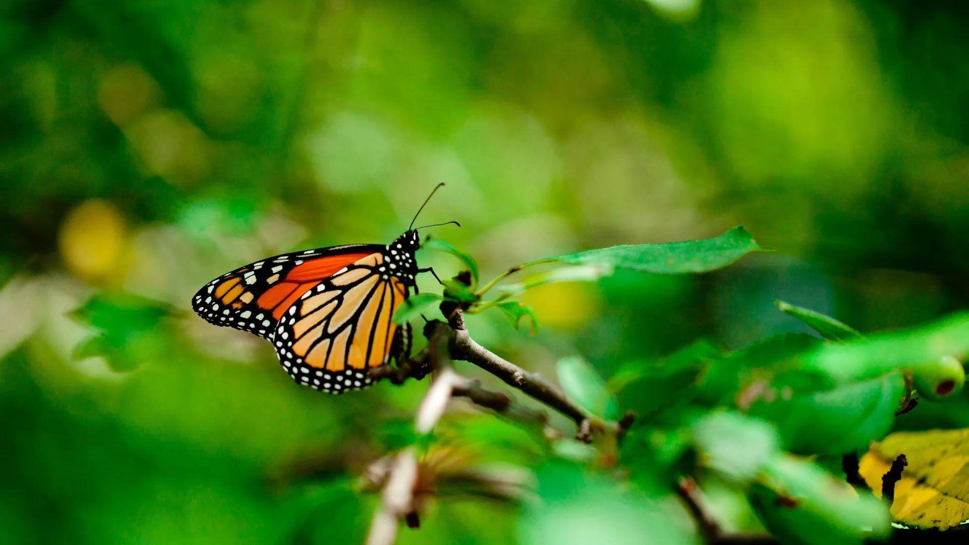 Nice Butterfly Nice Wallpaper