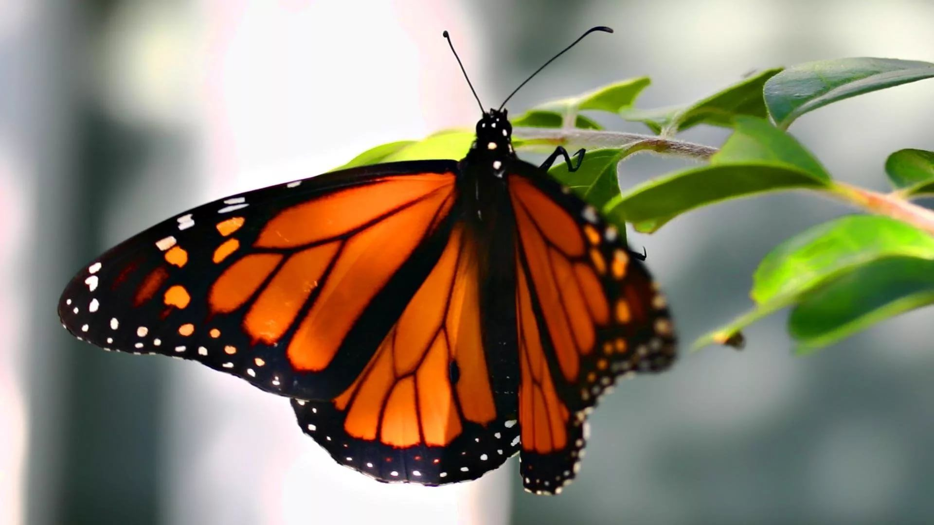 Nice Butterfly wallpaper image