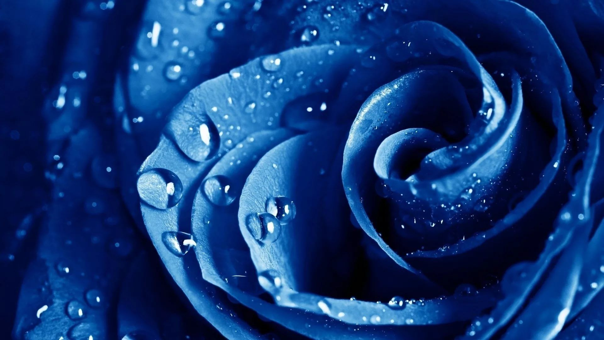 Blue Rose HD Wallpaper