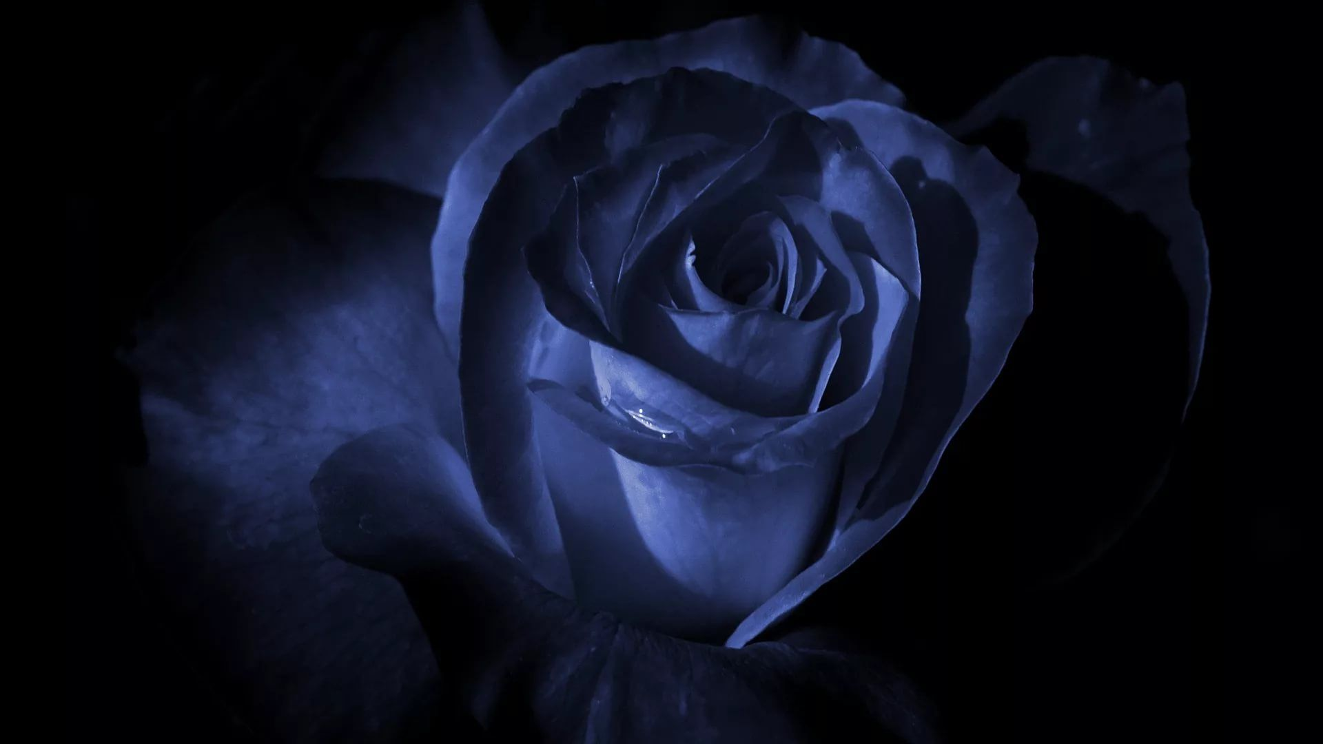 Blue Rose wallpaper image hd