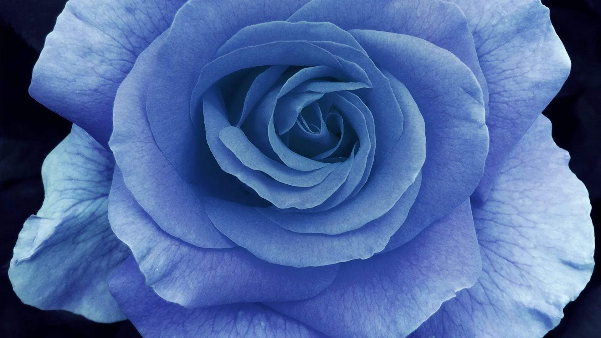 Blue Rose 1080p Wallpaper