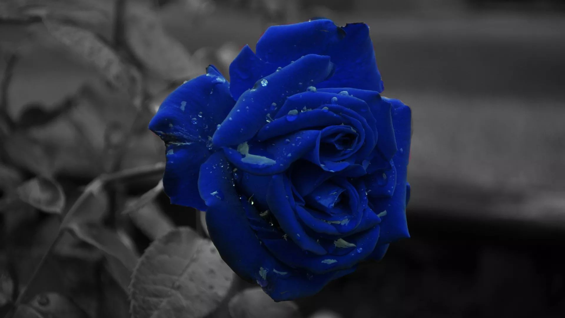 Blue Rose Full HD Wallpaper