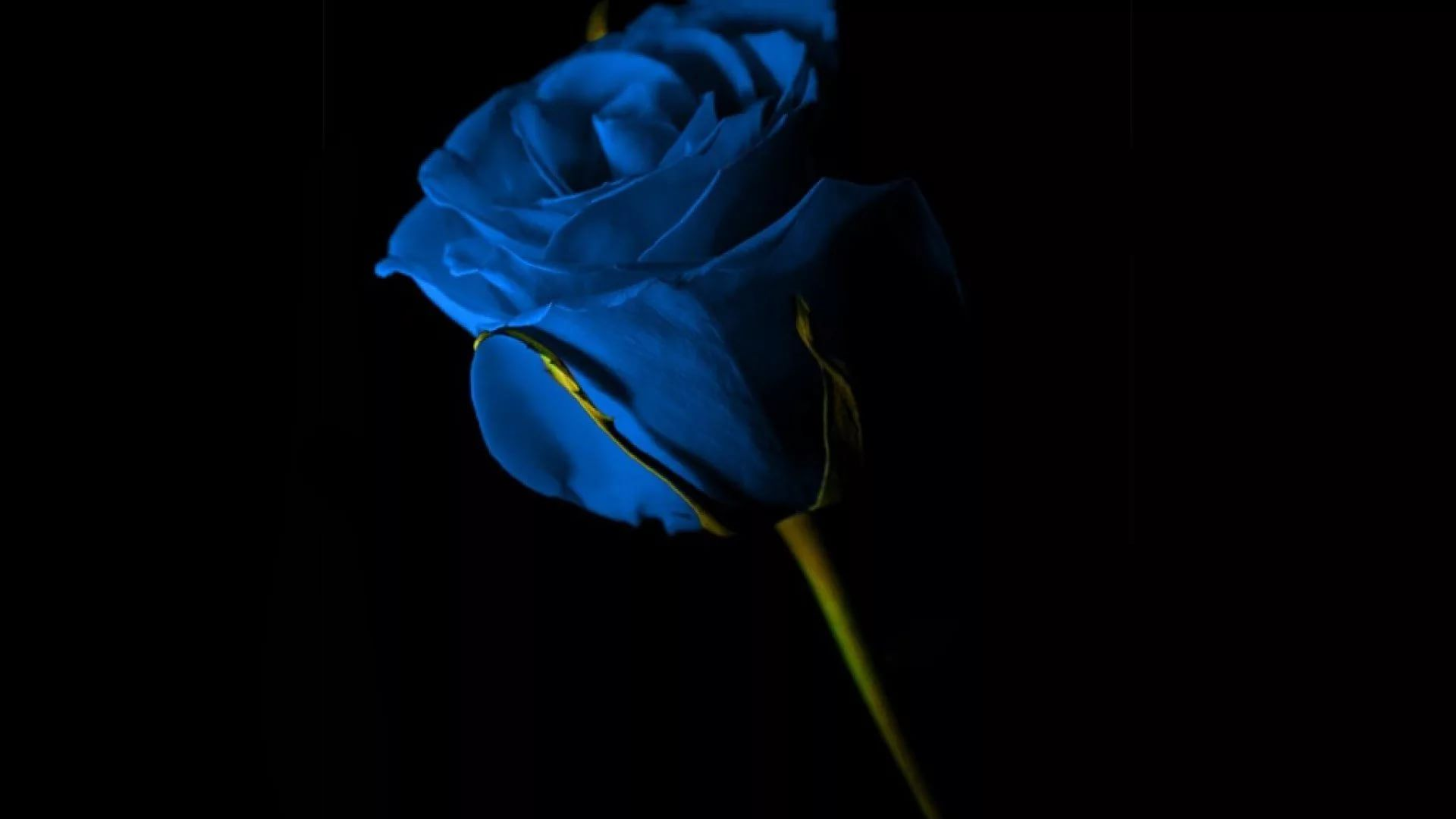 Blue Rose download wallpaper image