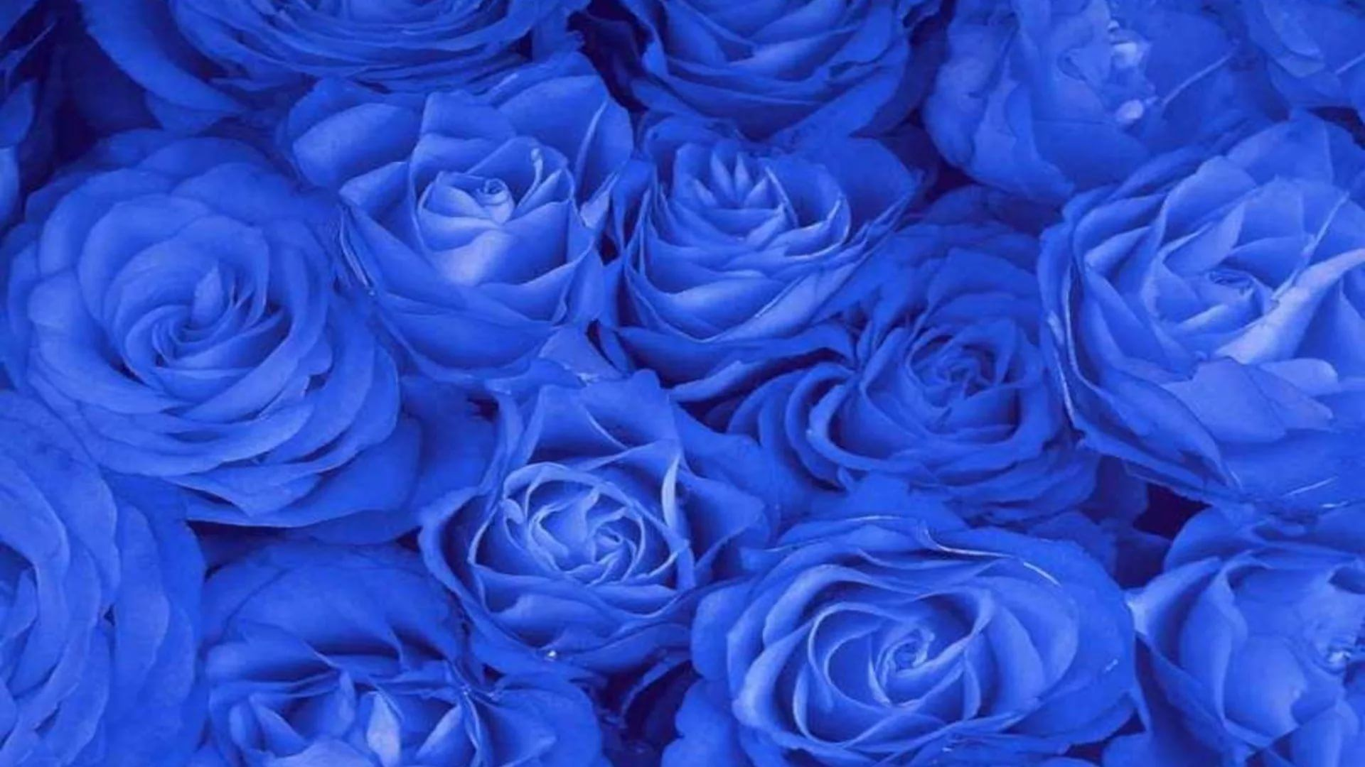 Blue Rose Good Wallpaper