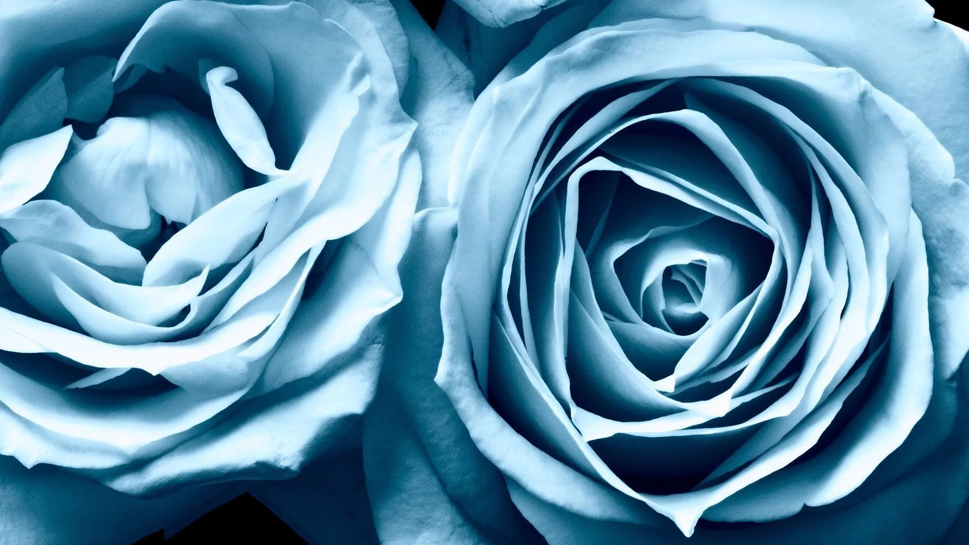 Blue Rose wallpaper and themes