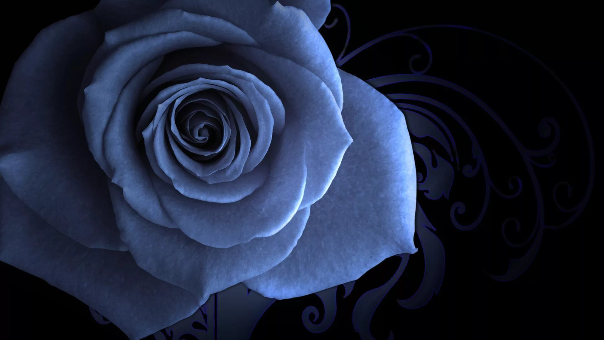 Blue Rose download nice wallpaper