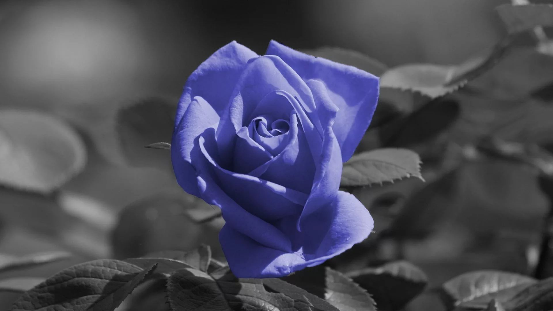 Blue Rose full wallpaper
