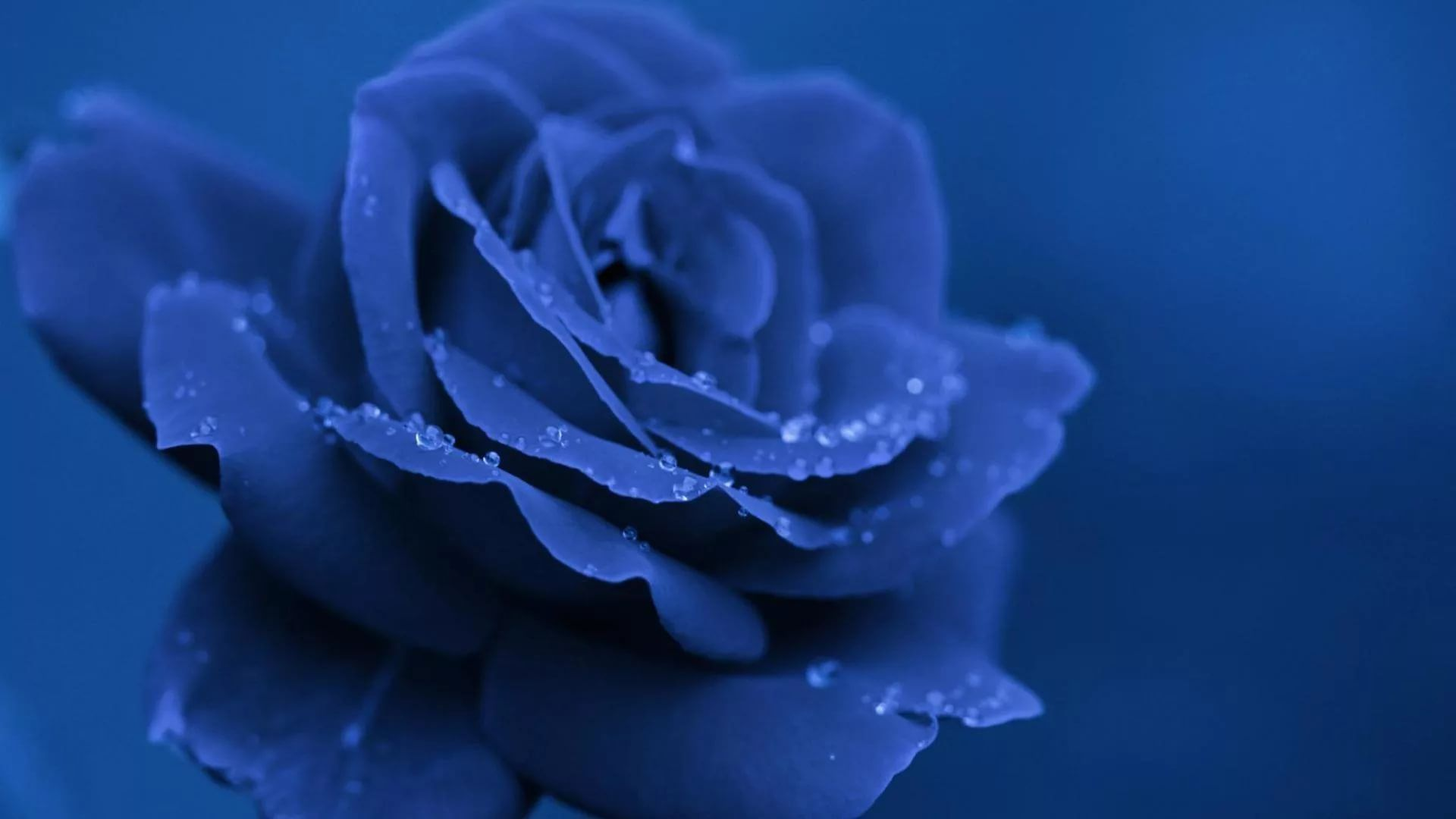 Blue Rose new wallpaper