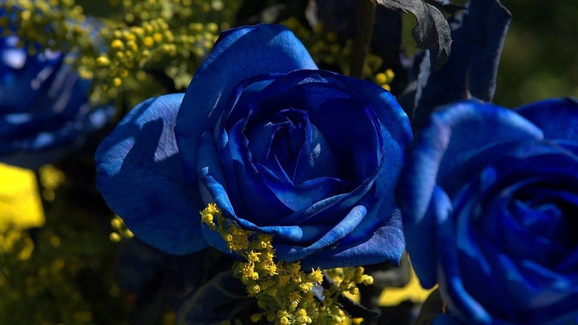 Blue Rose full screen hd wallpaper