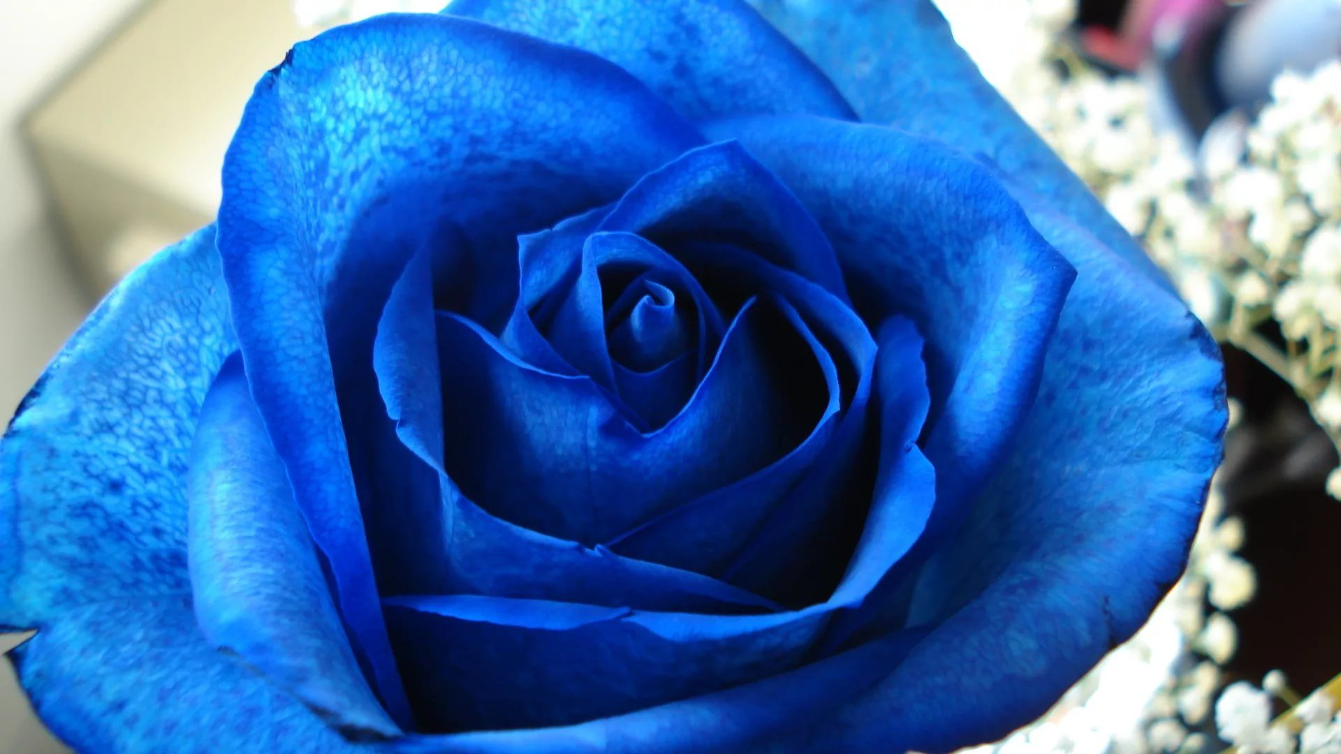 Blue Rose PC Wallpaper