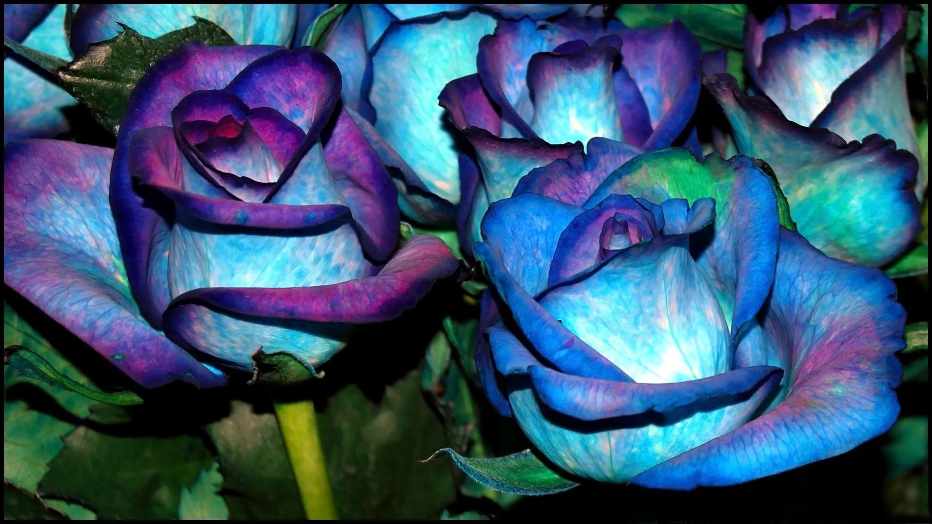 Blue Rose Cool HD Wallpaper