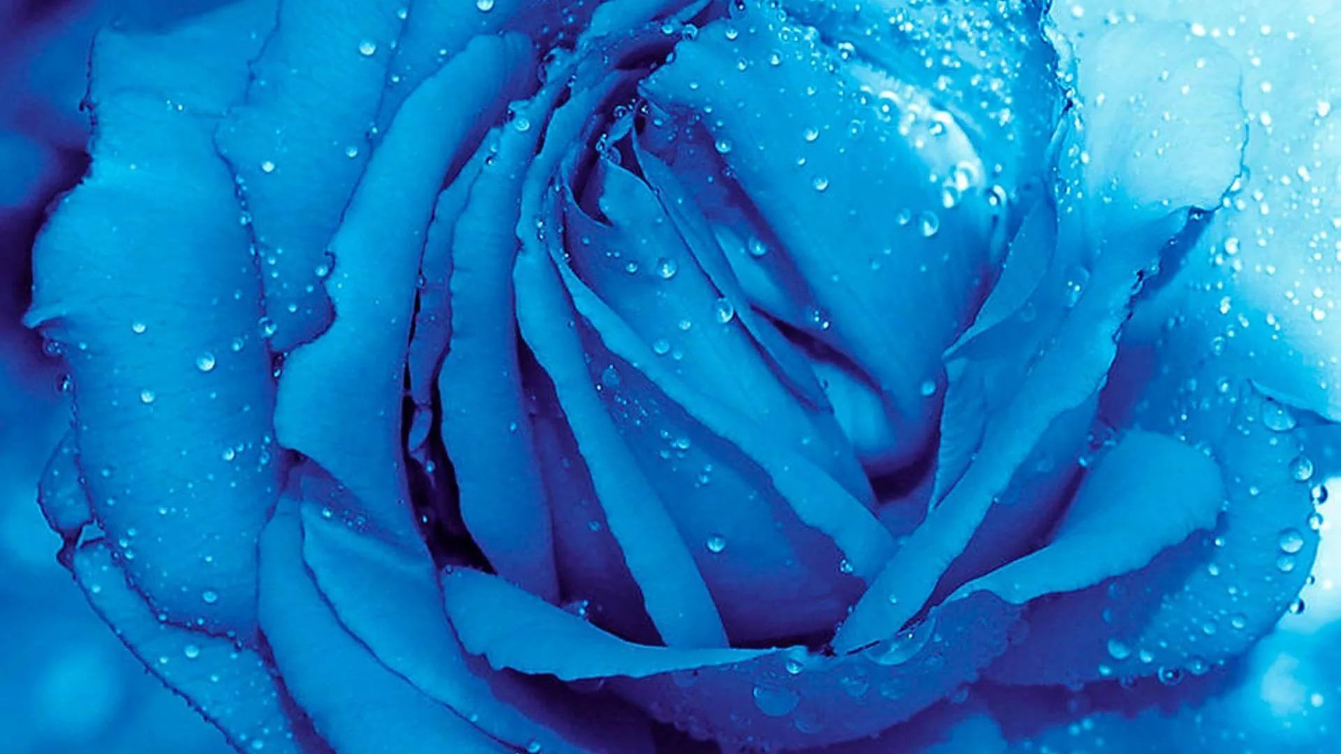 Blue Rose HD Desktop Wallpaper