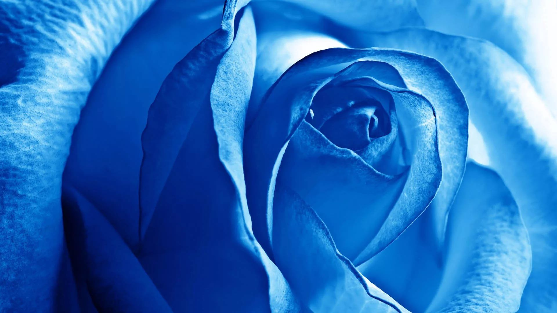 Blue Rose High Definition