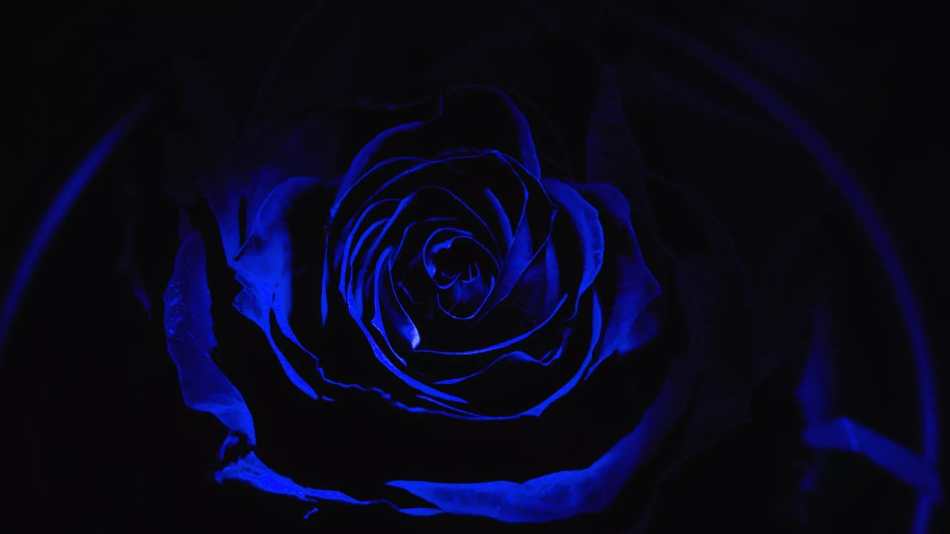 Blue Rose Background Wallpaper HD