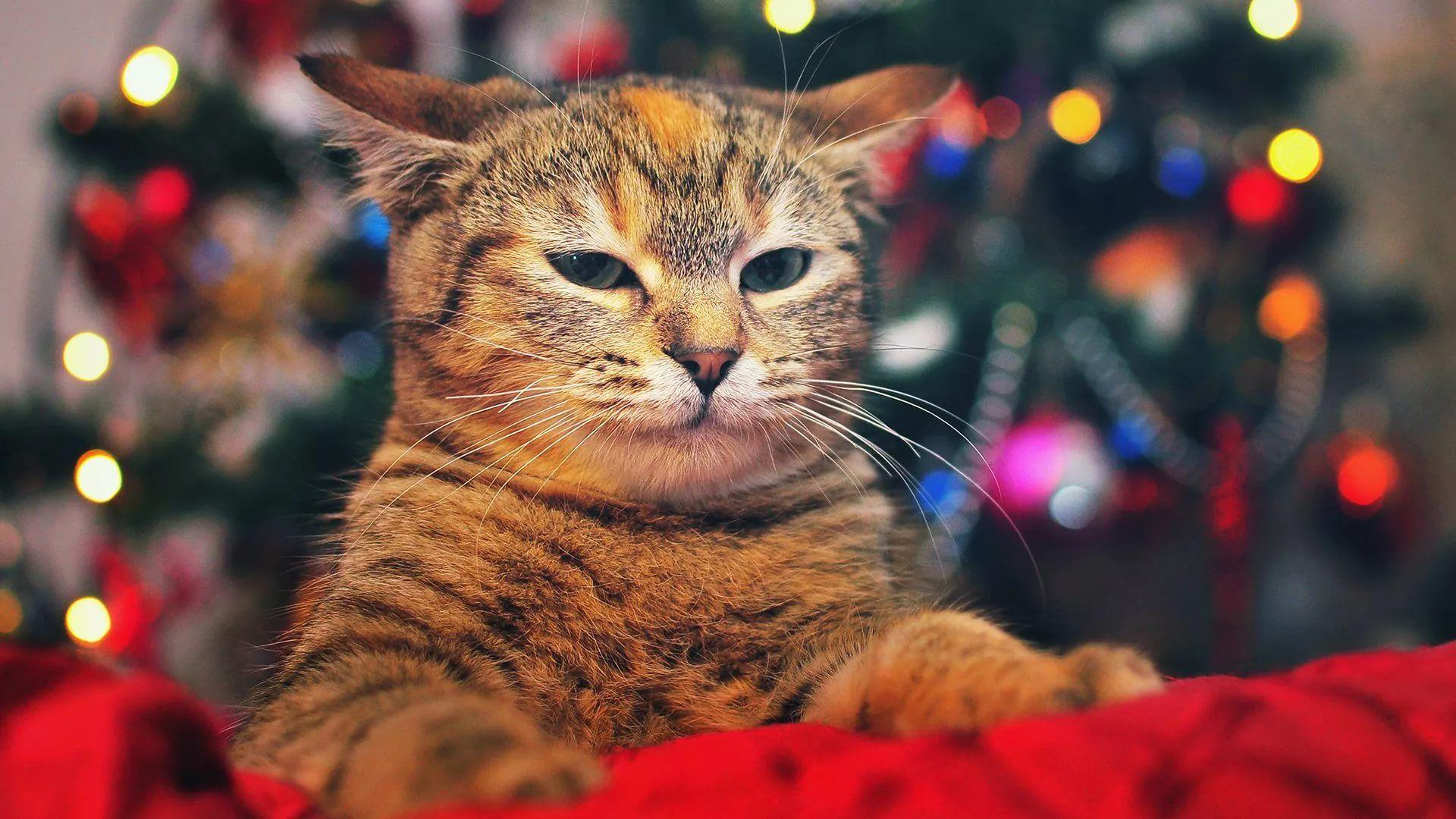 Christmas Cat Download Wallpaper
