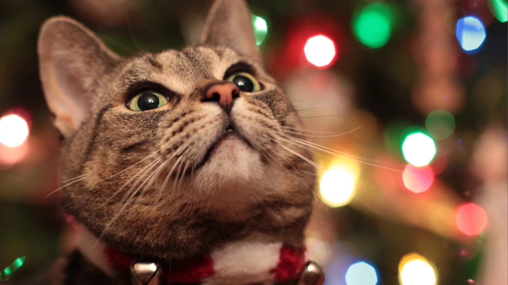 Christmas Cat download free wallpapers for pc in hd