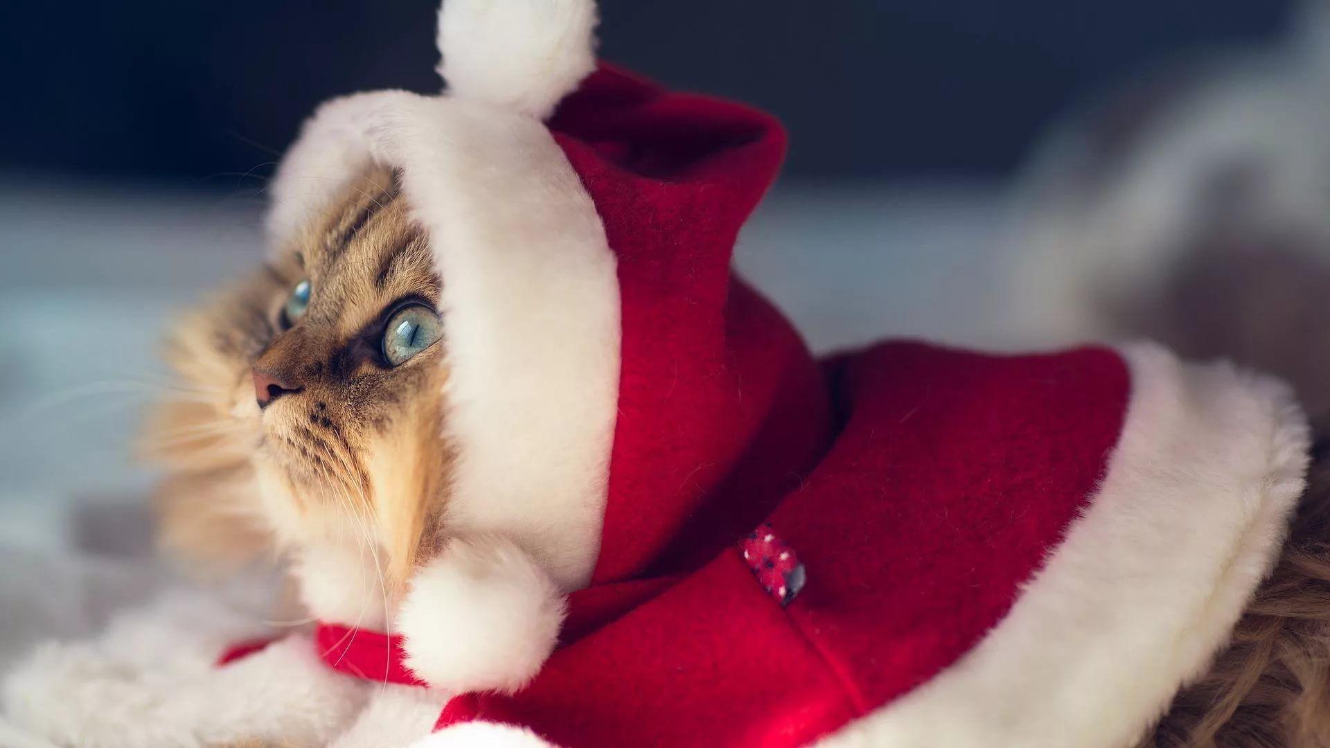 Christmas Cat hd wallpaper 1080
