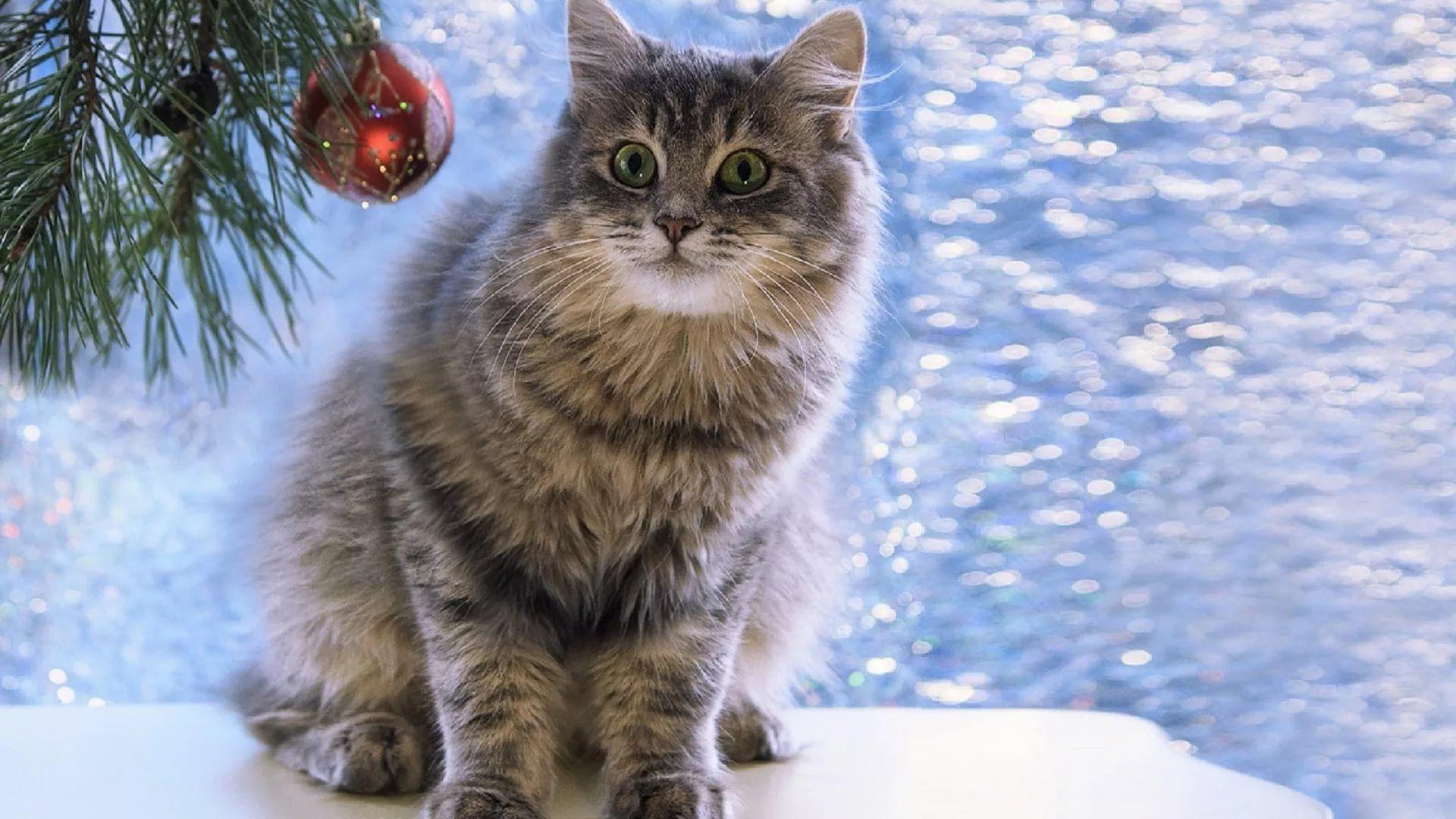 Christmas Cat full hd wallpaper for laptop
