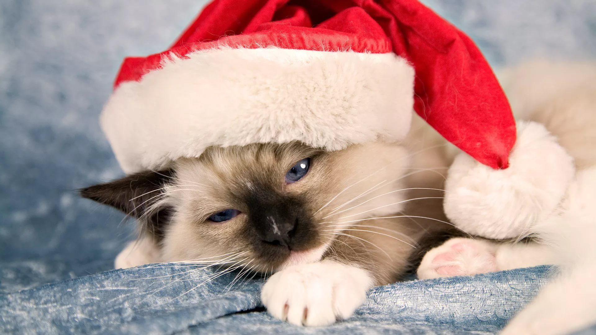 Christmas Cat wallpaper and themes