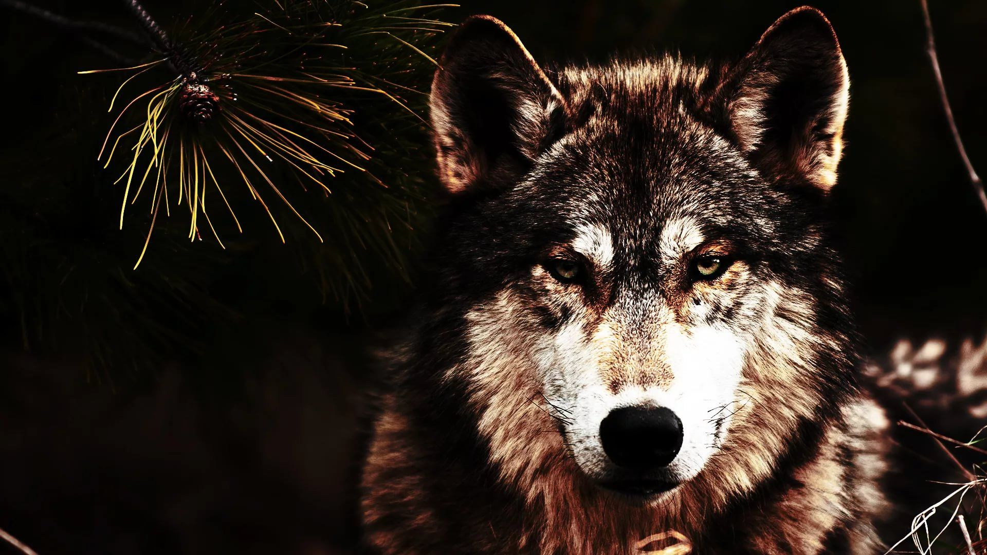 Cool Wolf HD Download