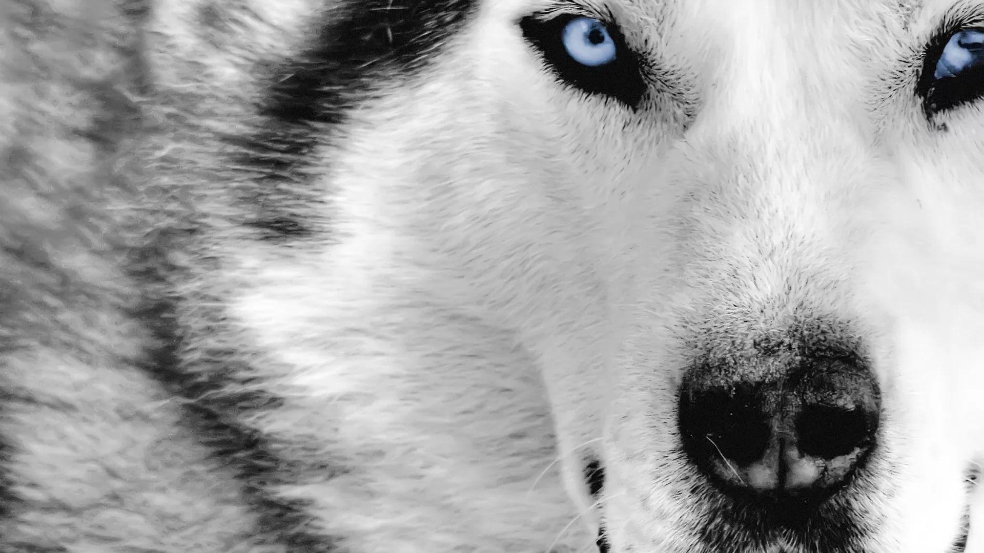 Cool Wolf wallpaper photo full hd