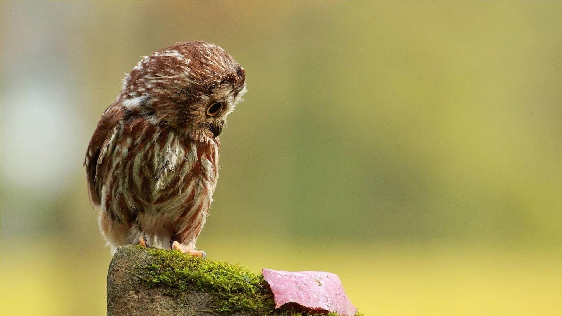 Cute Owl PC Wallpaper HD