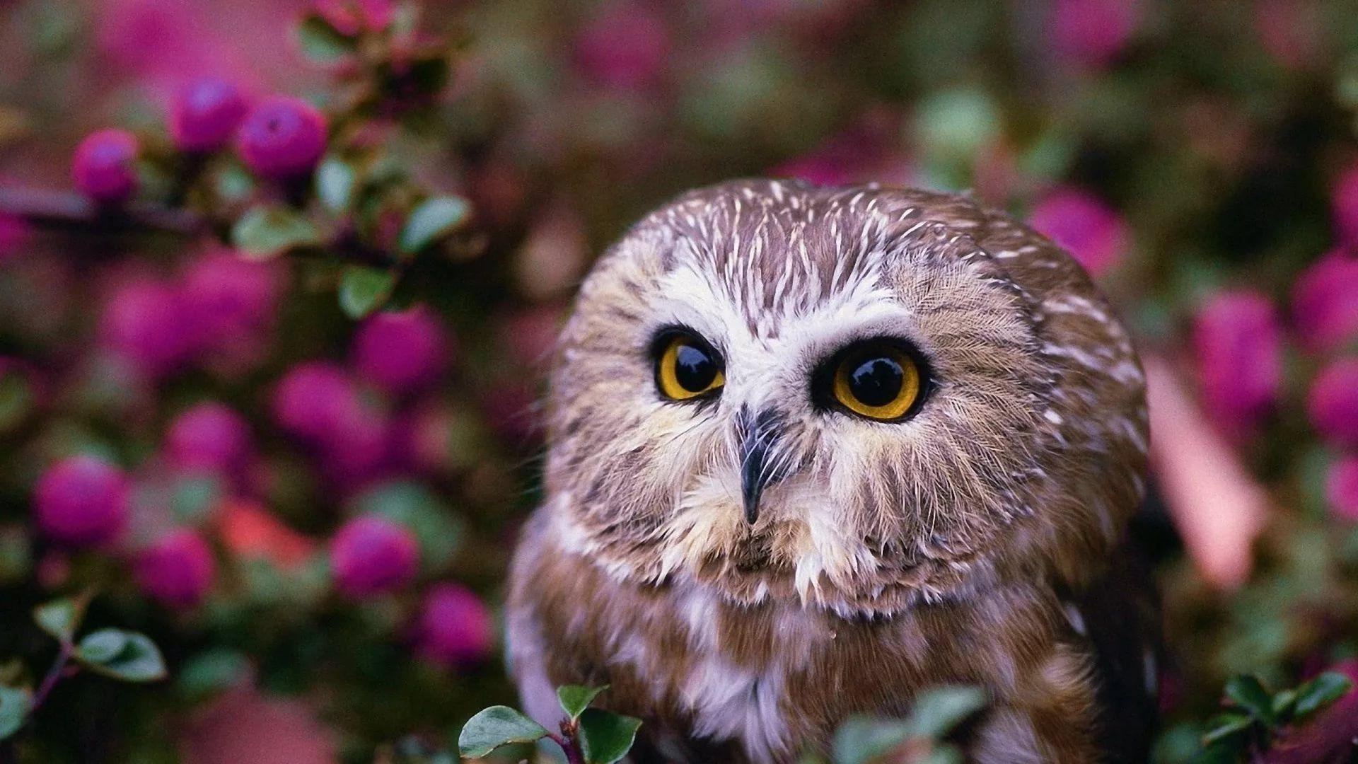 Cute Owl laptop wallpaper