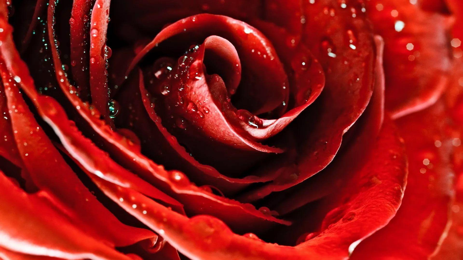 Rose Screensaver download nice wallpaper