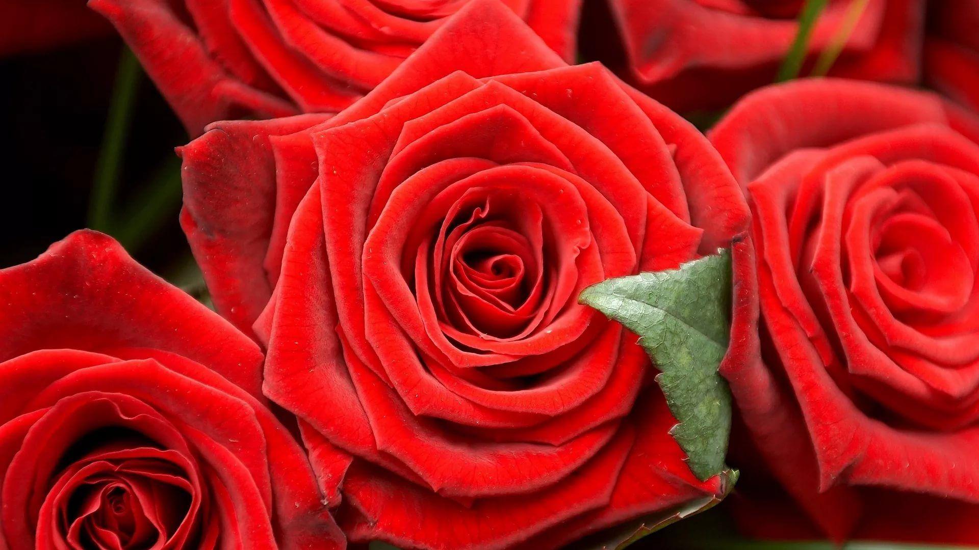 Rose Screensaver screen wallpaper