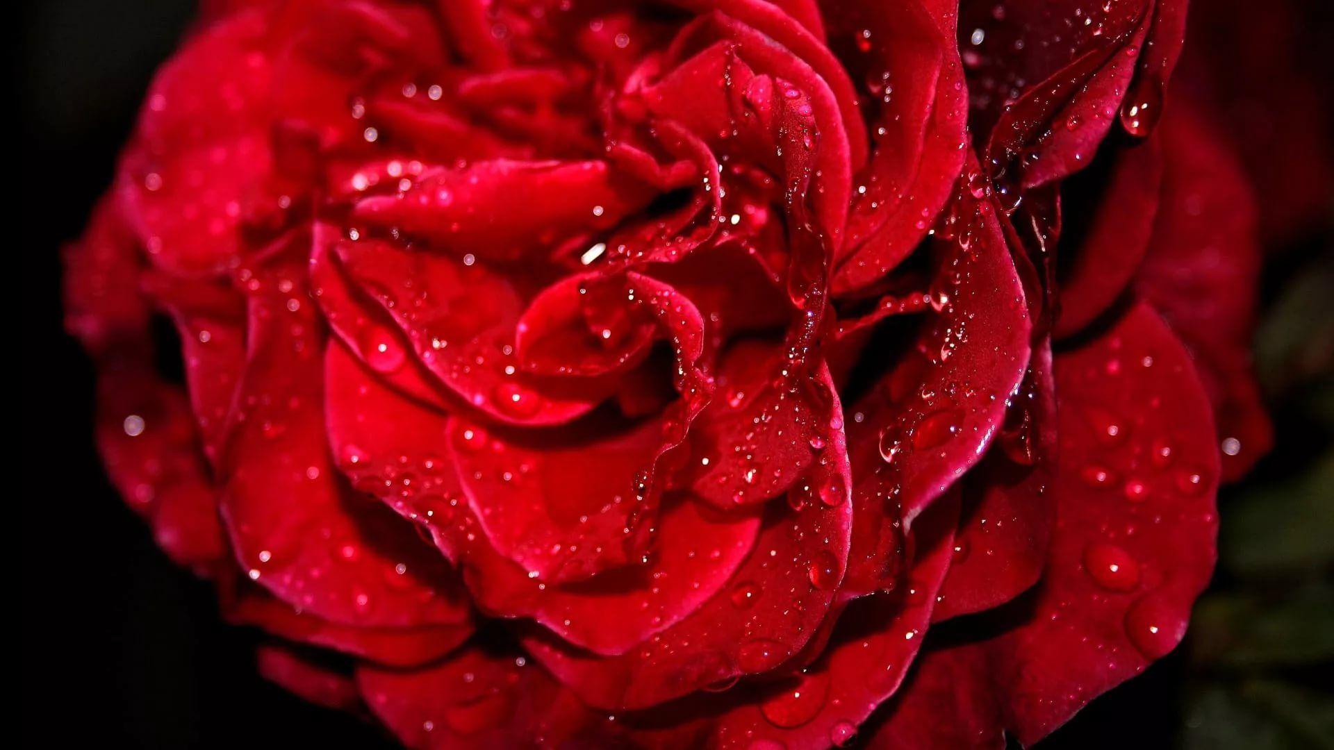 Rose Screensaver HD Wallpaper