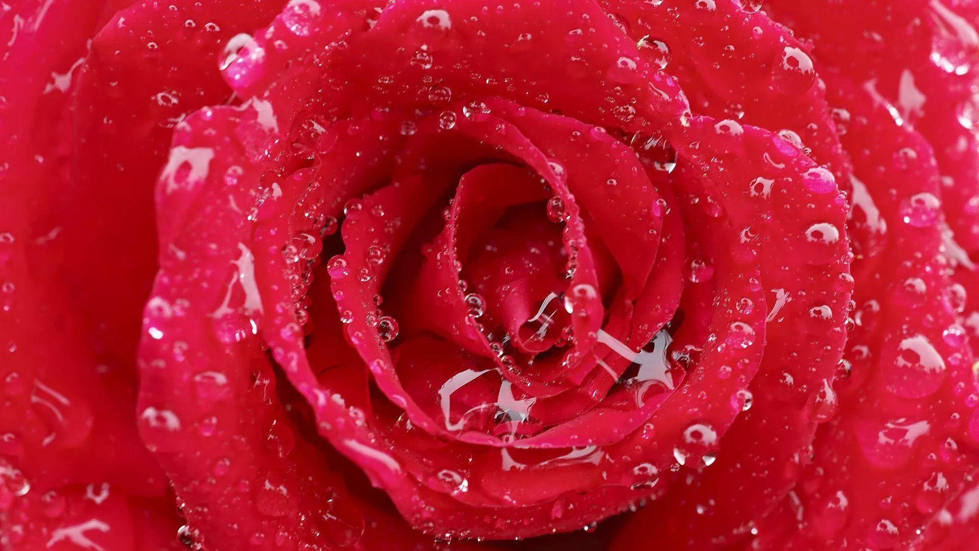 Rose Screensaver Wallpaper Picture