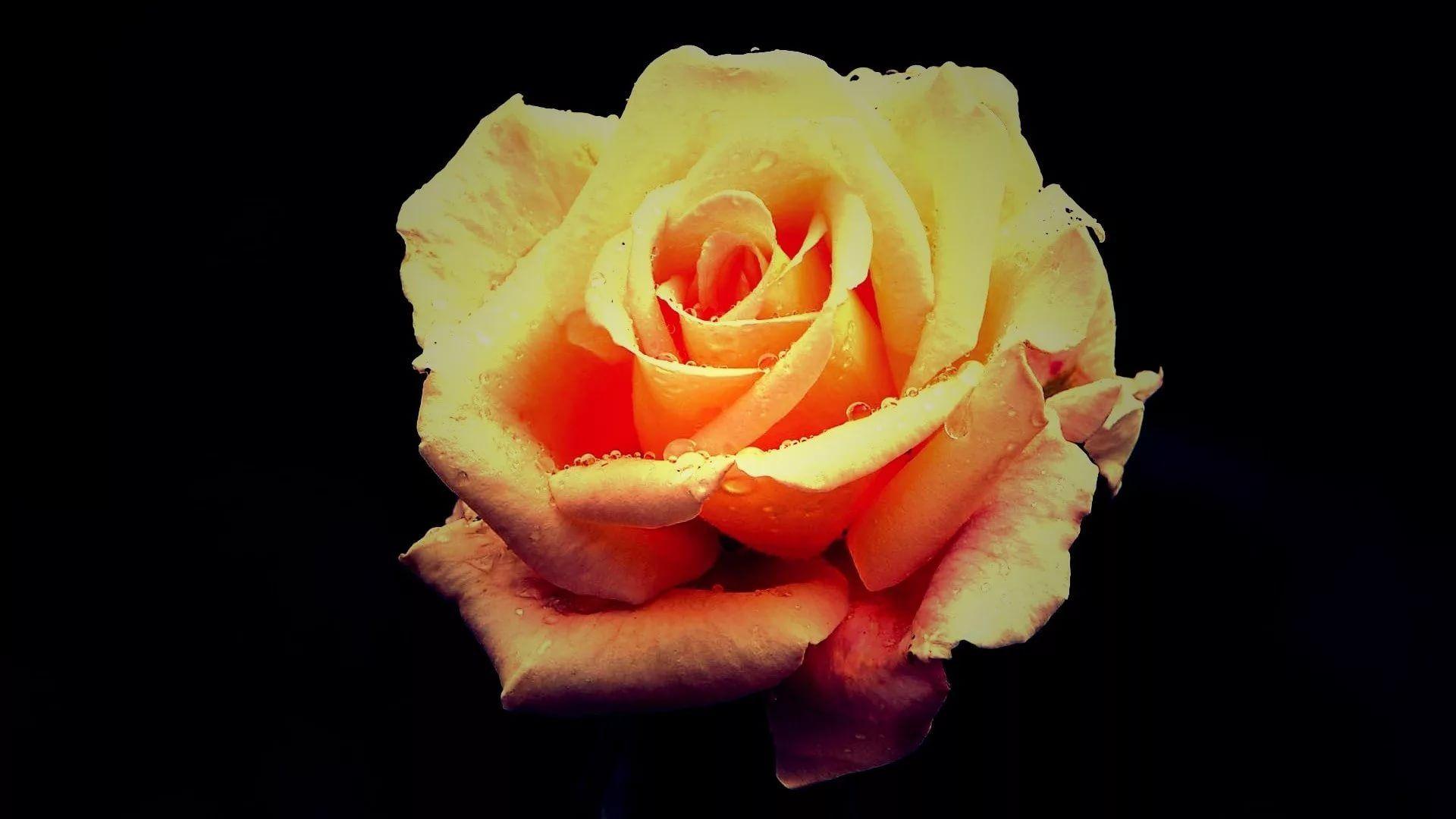 Rose Screensaver High Definition