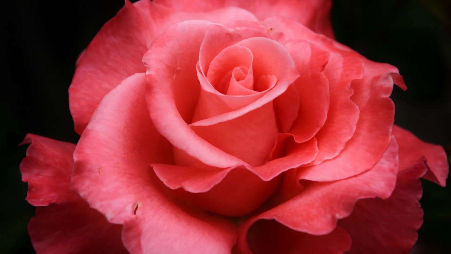 Rose Screensaver Free Wallpaper