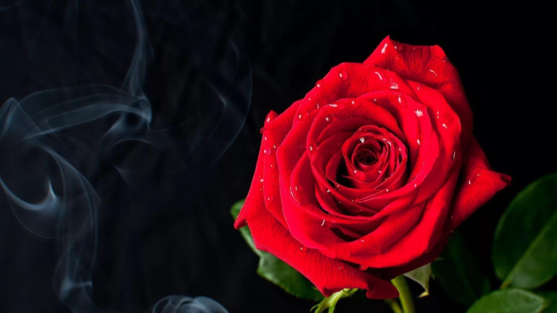 Rose Screensaver wallpaper picture hd