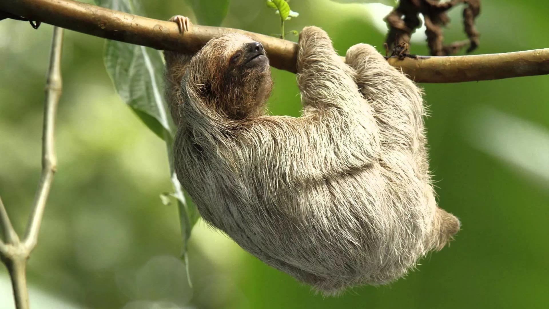 Sloth wallpaper image