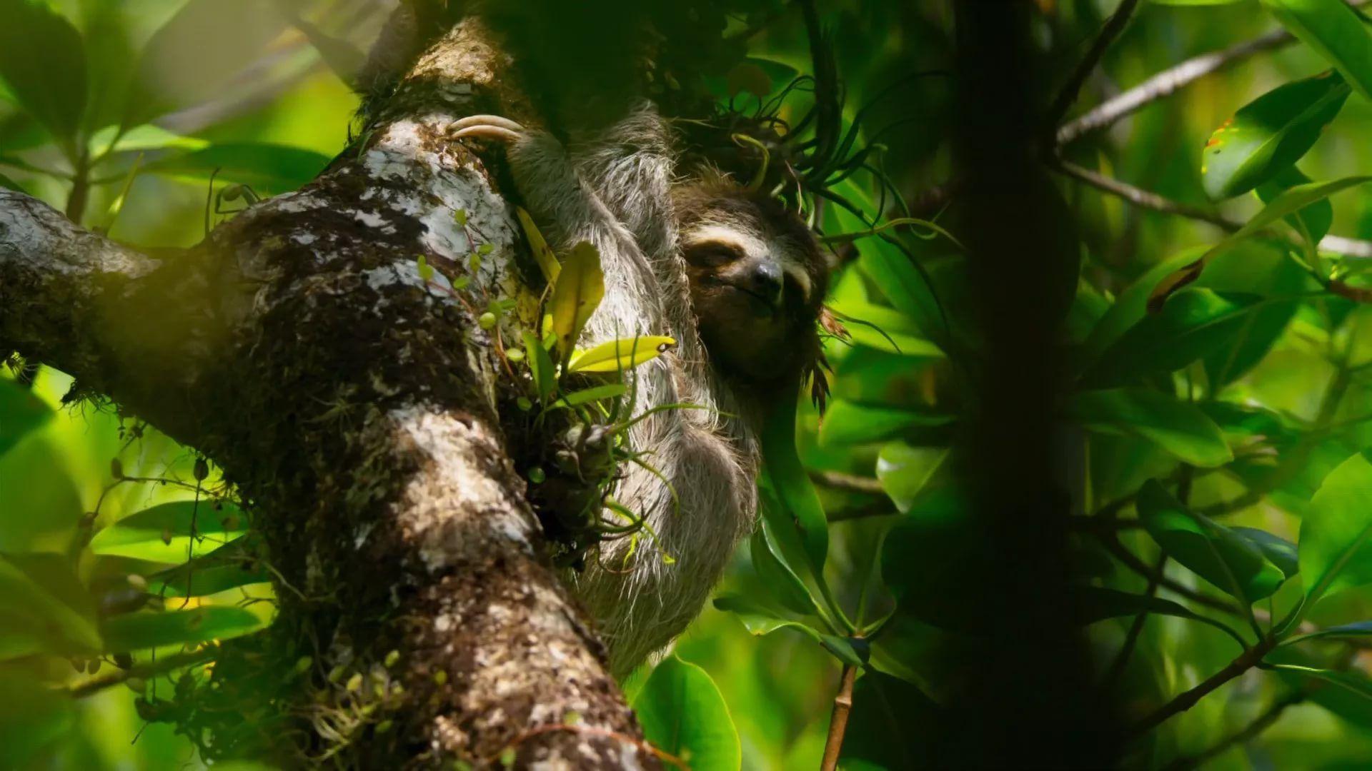 Sloth desktop wallpaper