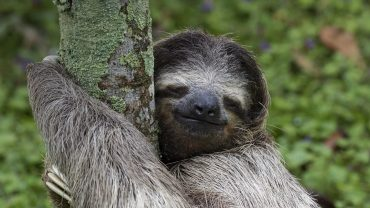 Sloth Free Desktop Wallpaper