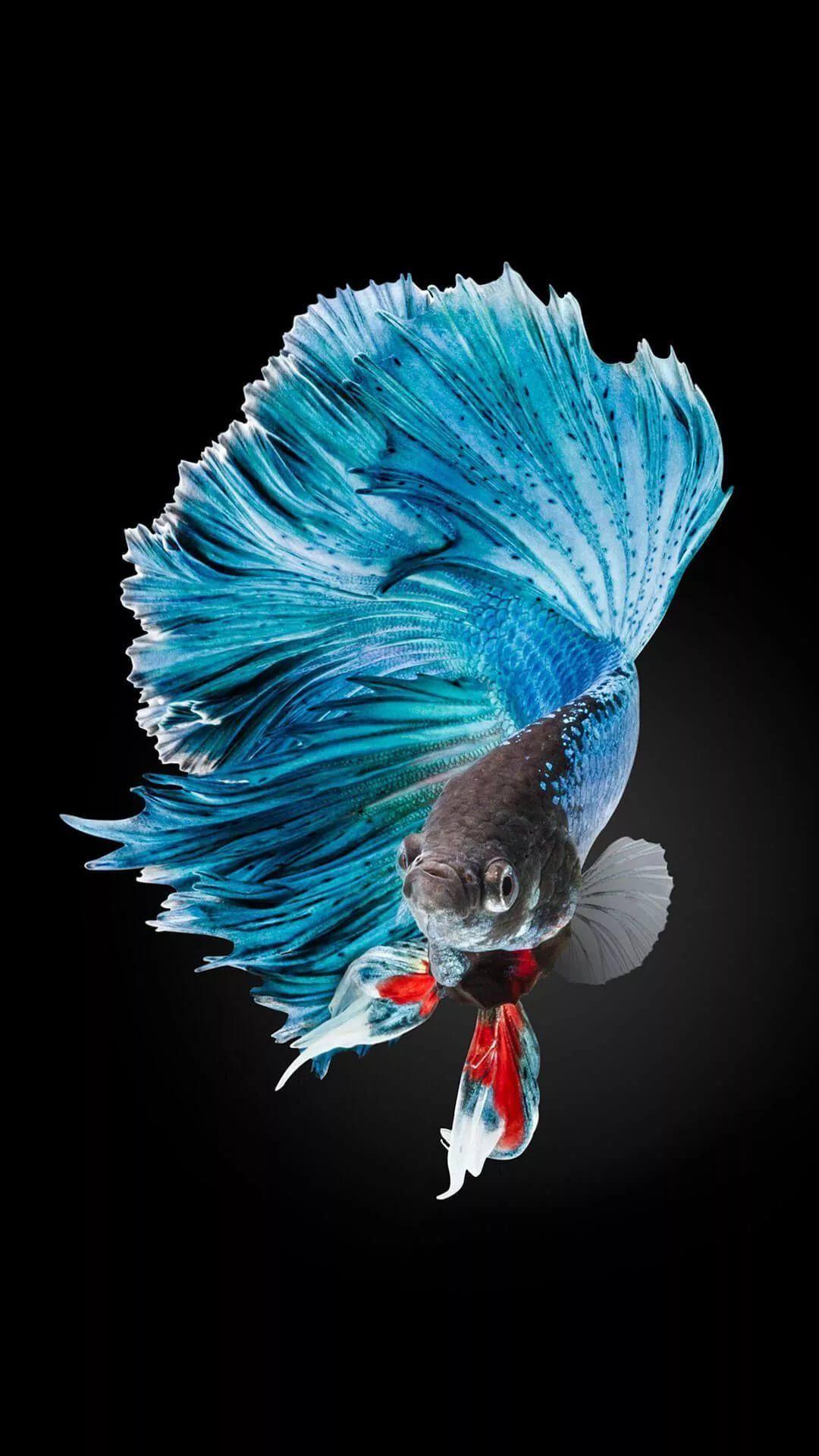 Betta Fish phone background