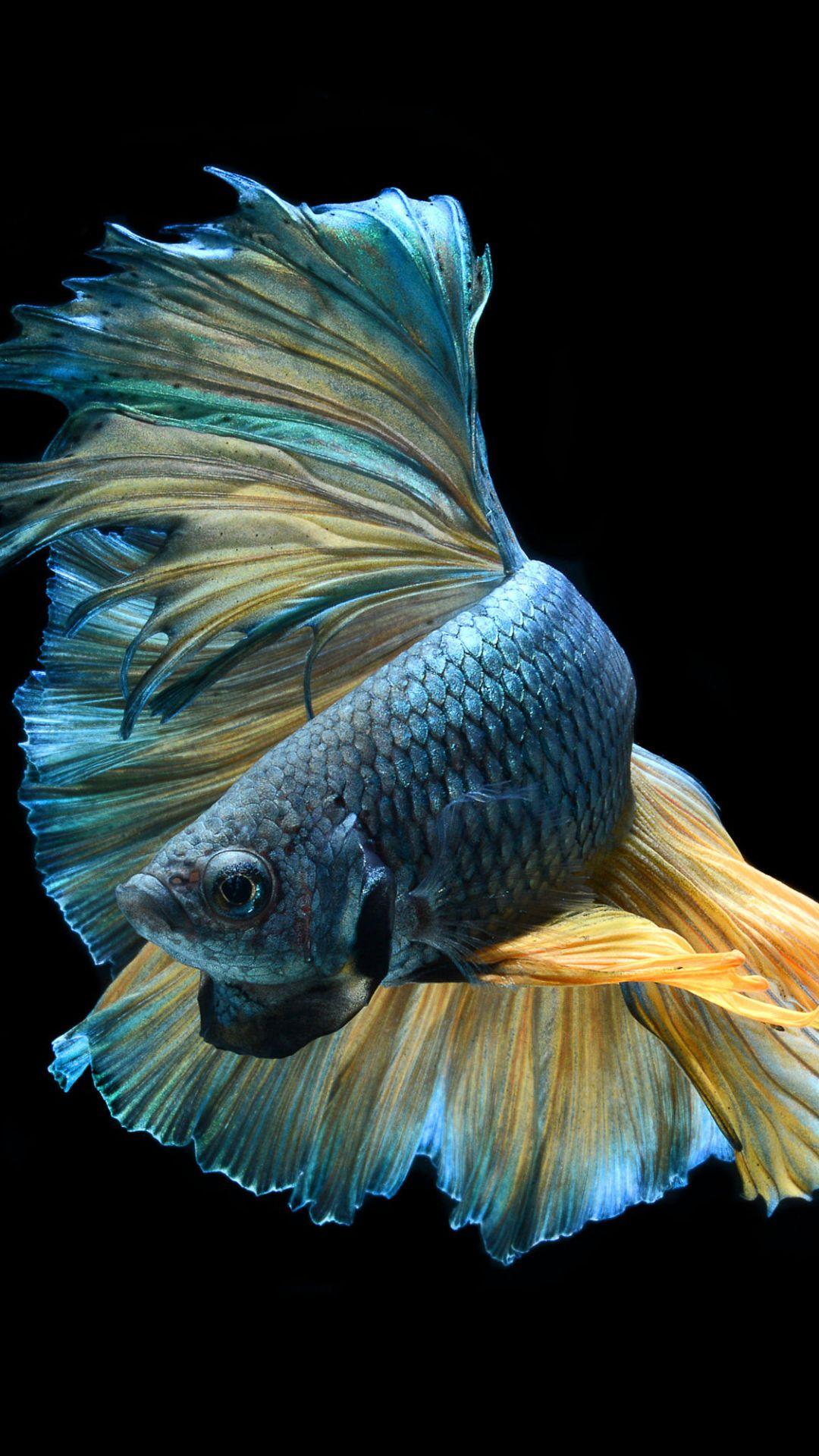 Betta Fish iPhone hd wallpaper