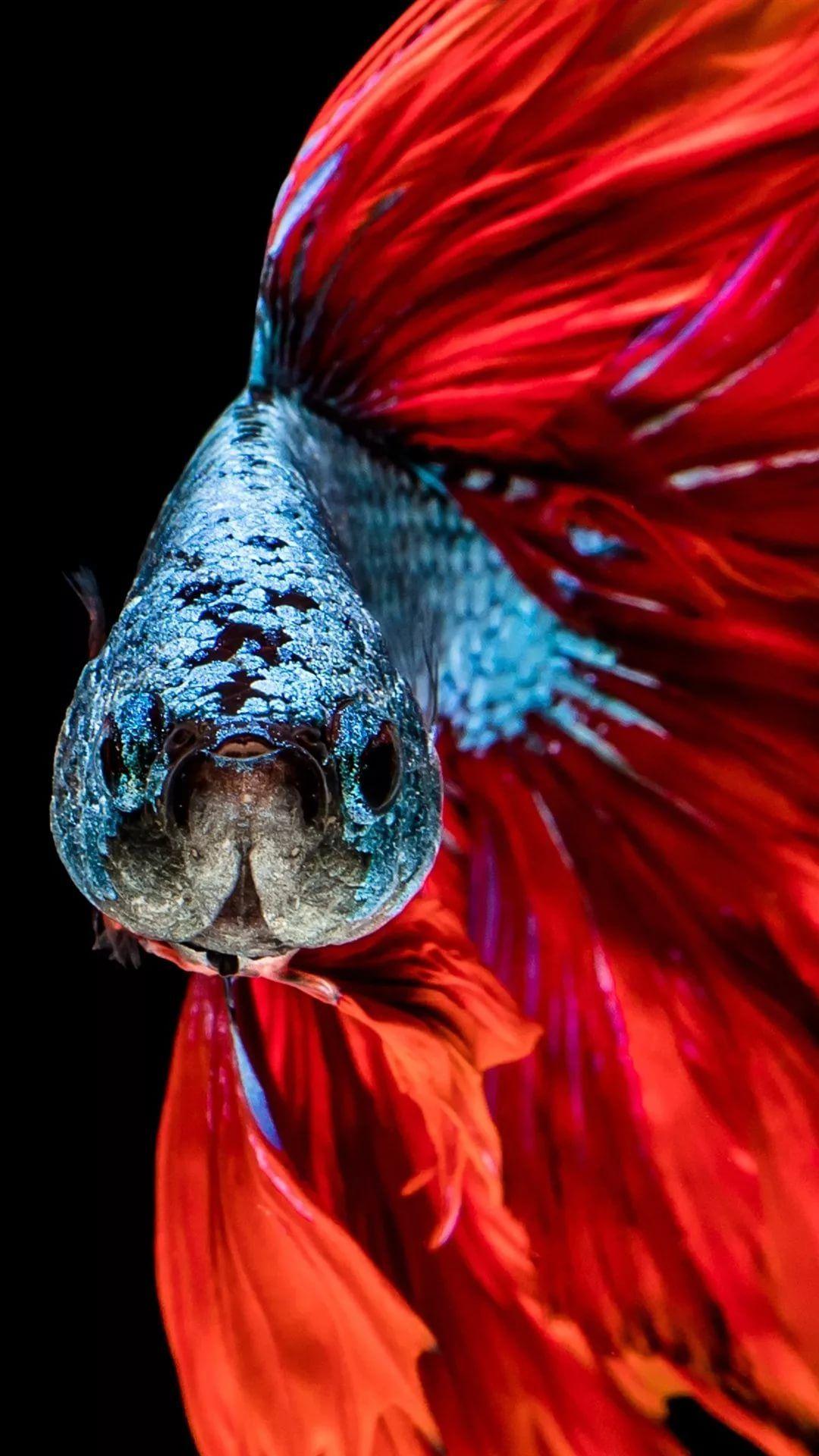 Betta Fish iPhone 7 wallpaper